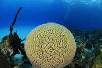 symmetrical brain coral, coralreef
