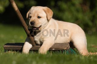 Labrador-Welpe liegt auf einem Besen