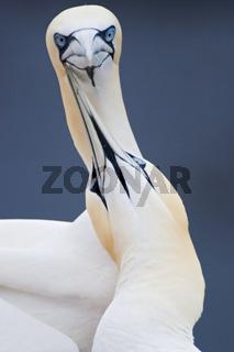 Basstoelpelliebe