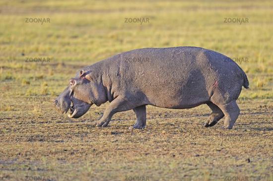 Flusspferd , Nilpferd (Hippopotamus amphibius), am früehen Morge