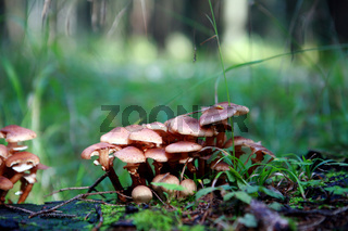 Hallimasch im Wald
