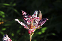 Toad Lily, Tricyrtis hirta