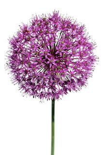 Zier-Lauch, Sternkugel-Lauch, Persian Onion, (Allium cristophii)