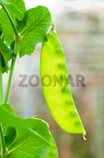 Pea pods on the vine
