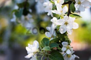 blooming apple tree branch in spring