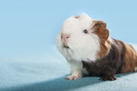funny guinea pig portrait