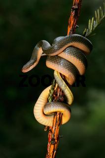 Aurora house snake