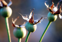 Buds of roses
