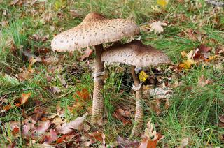 Riesenschirmpilz - Parasol mushroom 19