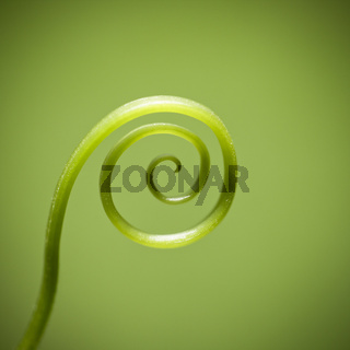 curly vine of plant