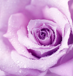 Purple wet rose background