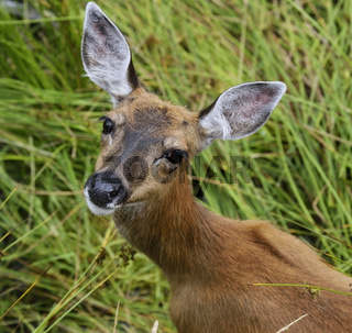 Whitetail Deer Female
