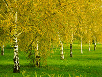 birch grove in the early autumn season