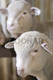 Portrait sheep lamb