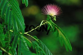 Seidenbaum (Albizia julibrissin)