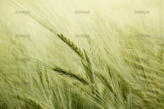 detail of organic green grains in summer time