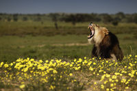 Dominant Kalahari Lion in between flowers