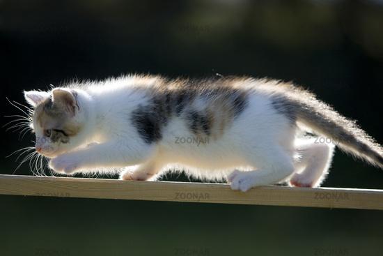 Cat, kitten on plank in back light
