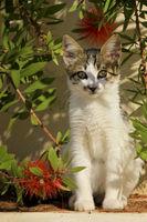 small Greek kitten