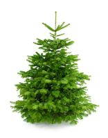 Perfect fresh Christmas tree without ornaments