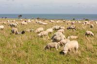 Schafherde auf Sylt