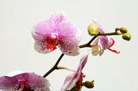 The pink spot orchid over white background