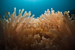 Tentakel eine Seeanemone