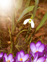 snowdrop and crocus
