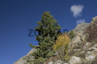 Conifer on a slope of the Bhagirathi valley