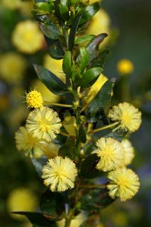 Mimose, Acacia armata, Kängurudorn, hedge wattle, kangaroo thorn, paradox acacia, prickly wattle