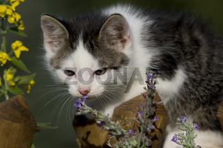 Katze riecht an Katzenminze/Blume, Cat smelling flower/catnip
