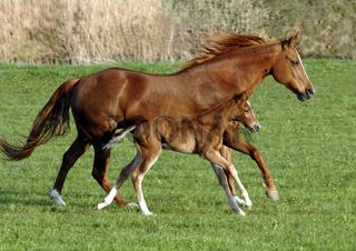 Pferd mit Fohlen im Galopp