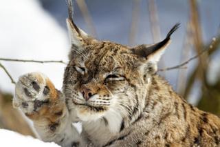 Luchs im Schnee / Lynx lynx