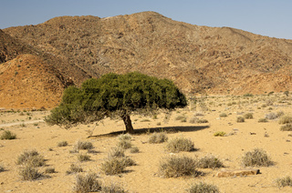 Hirtenbaum, Richtersveld-Nationalpark