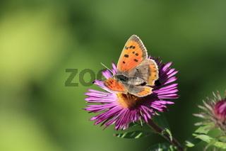 Schmetterling, kleiner Feuerfalter