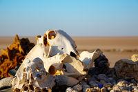 Animals skulls and bones.