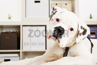 Junger Boxer Hund schaut neugierig