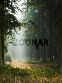 Fichtenwald im Hohen Venn