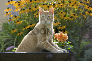 Rote Hauskatze im Garten, cat in a garden