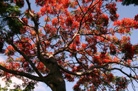 Flamboyant - Flame tree blooms