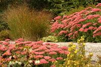 Stonecrop - Sedum telephium 'Autumn Joy'