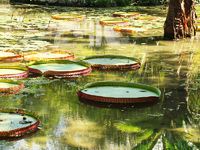 Victoria Regia - the largest water lily in the wor