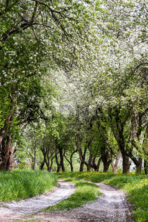 Fruit trees in a spring orchard