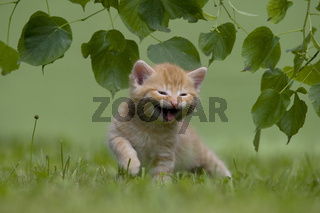 Katze, Kaetzchen miauend, lachend auf Wiese, Cat, kitten laughing, miaowing on a meadow