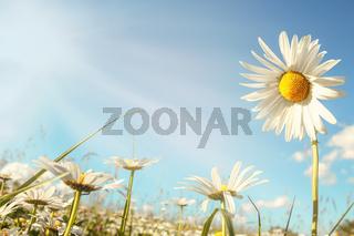 daisy flower field against blue sky with sunlight
