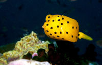 young yellow boxfish