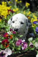 Dalmatian puppy, four weeks old, among flowers