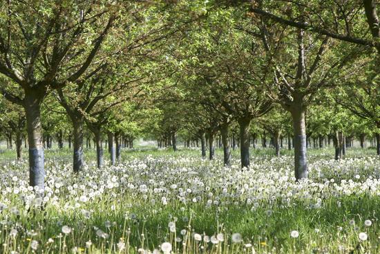 Fruit tree meadow
