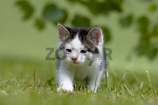 Katze, Kaetzchen gehend, auf Wiese, Cat, kitten walking on a meadow