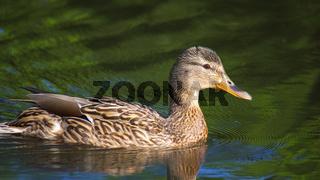 Fröhliche Ente